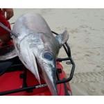 Eksotiski jūras dzīvnieki Baltijas Jūrā, atrasta zobenzivs
